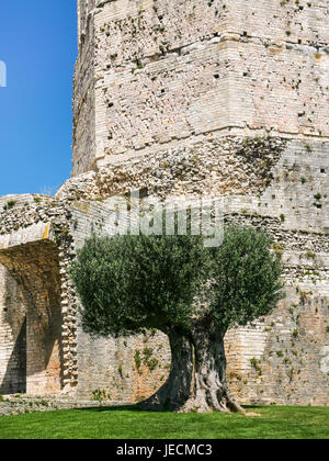 Travel to Provence, France - olive tree near ancient Roman Gaul Tour (tower) Magne in Jardins de la fontaine (Fountain - Stock Photo