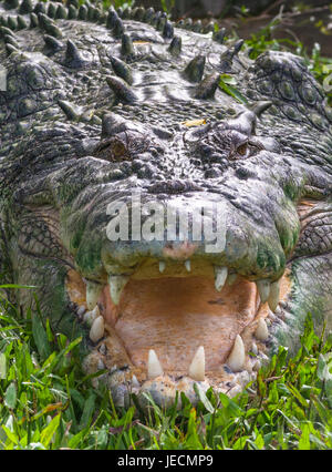 Saltwater crocodile in Kakadu, Northern Territory, Australia. - Stock Photo