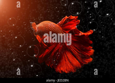 Fancy red  Betta or Saimese fighting fish swiming with the motion of big fin and bubble effect in dark lighting. - Stock Photo