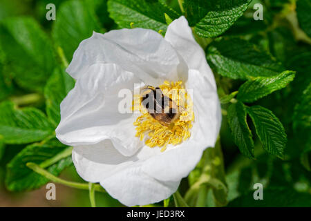 close up of a common White Tailed bee taking pollen from a large white Dog Rose flower in the sunshine - Stock Photo