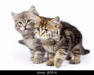 Two Siberian Forest cat / kittens playing islolated on white background moving to the side - Stock Photo
