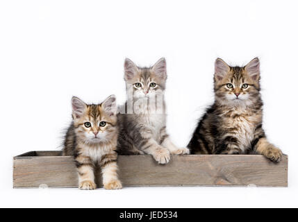 Three Siberian Forest cat / kittens sitting in a wooden tray isolated on white background - Stock Photo
