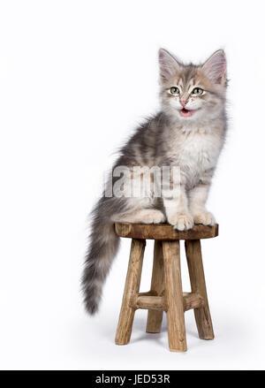 Siberian kiiten sitting and talking on wooden stool isolated on white background - Stock Photo