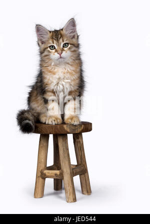 Black tabby Siberian Forest cat / kitten sitting on wooden stool isolated on white background - Stock Photo