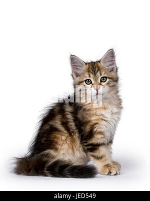 Black tabby Siberian Forest cat / kitten sitting side ways isolated on white background facing camera - Stock Photo