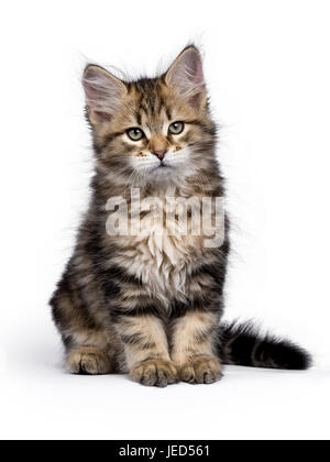 Black tabby Siberian Forest cat / kitten sitting isolated on white background looking to the side - Stock Photo