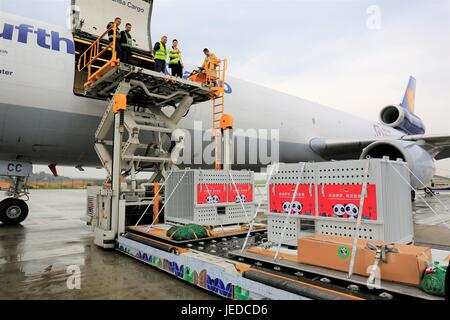 Chengdu. 24th June, 2017. Giant pandas 'Meng Meng' and 'Jiao Qing' are transferred into a chartered flight at an - Stock Photo