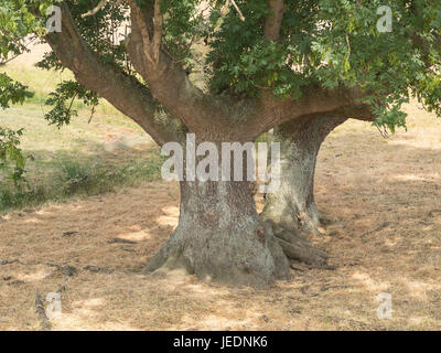 very old ash-trees close-up on a sunny day - Stock Photo