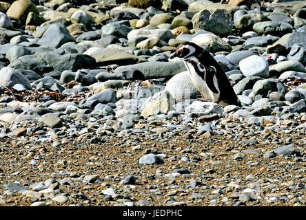 Various Pictures of Isla Magdalena & Penguins near Punta Arenas, Chile on 3/14/2014 - Stock Photo