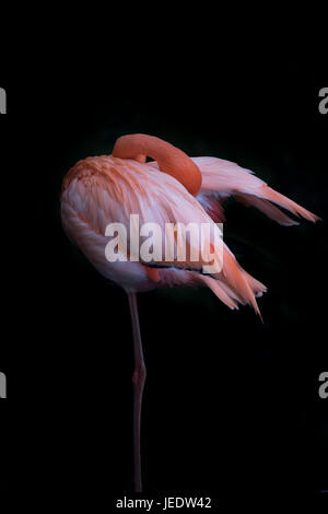Pink flamingo standing on one leg in front of black background - Stock Photo