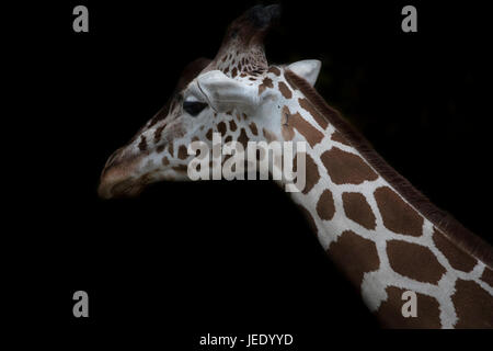 Reticulated giraffe in front of black background - Stock Photo