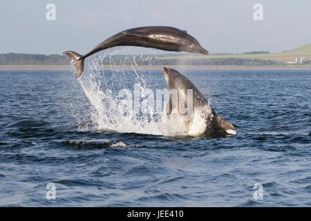 Two adult bottlenose dolphins (Tursiops truncatus) breaching/ leaping in the Moray Firth, Chanonry Point, Scotland, - Stock Photo