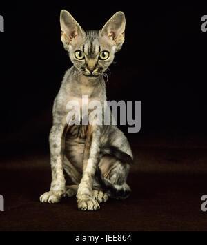 Devon Rex Katze, black background, - Stock Photo