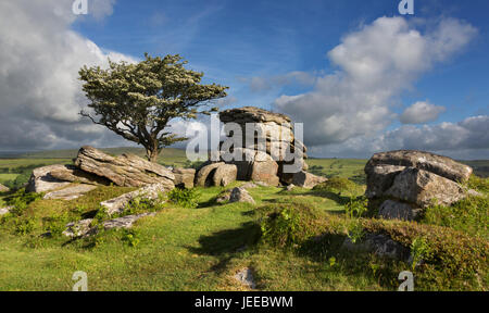 Common Hawthorn tree in blossom and growing on remote rocky outcrop in Dartmoor National Park, England - Stock Photo