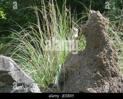 Posing Meerkat - Stock Photo