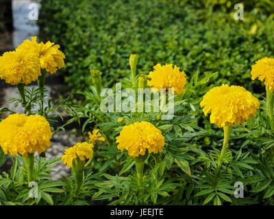 Group of yellow marigold flowers in garden