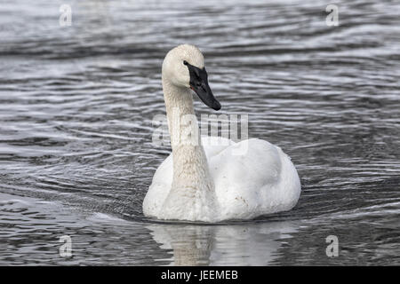 Trumpeter Swan - Stock Photo