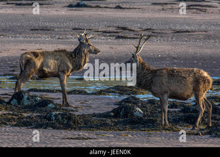 Red Deer stag on beach at Applecross, Scotland. - Stock Photo