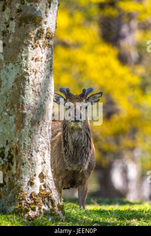 Yound Red deer stag in woodland, Applecross, Scotland, UK. - Stock Photo