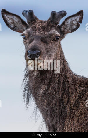 Red Deer Stag, Applecross, Scotland - Stock Photo