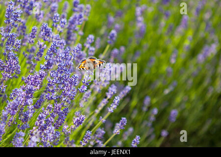 butterfly in lavender field in full bloom, Cotswold Lavender - Stock Photo
