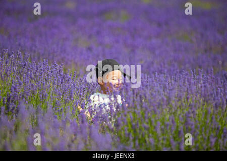 child in lavender field in full bloom at Cotswold Lavender - Stock Photo