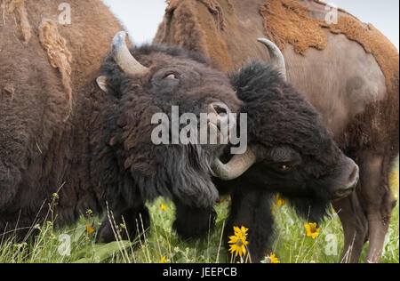 Bison bulls sparring, Montana - Stock Photo