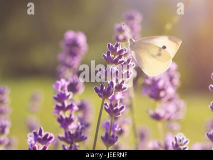 closeup of white butterfly sitting on lavender flower - Stock Photo