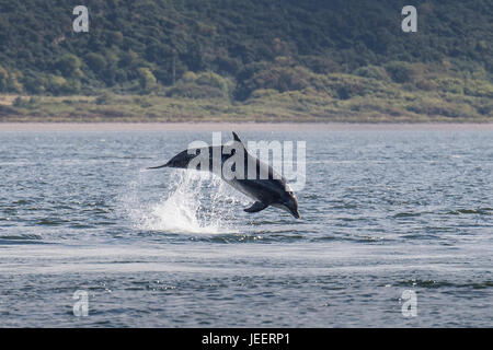 Common Bottlenose Dolphin, breaching off Chanonry Point, Black Isle, Moray Firth, Scotland, United Kingdom - Stock Photo