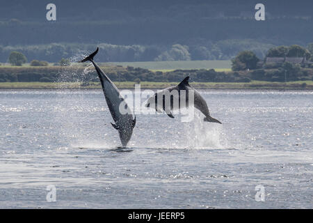 Two Common Bottlenose Dolphins, breaching off Chanonry Point, Black Isle, Moray Firth, Scotland, United Kingdom - Stock Photo