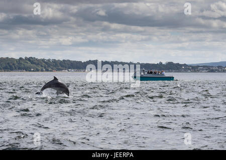 Two Common Bottlenose Dolphins, breaching in front of tourist dolphin watching boat, Chanonry Point, Black Isle, - Stock Photo