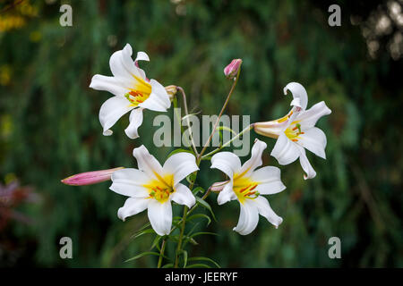 White trumpet lily, Lilium regale or regale lily, flowering in summer in a garden in southeast England, UK