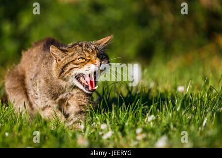 Native British wildlife: Scottish Wildcat (Felis silvestris) snarls showing its sharp teeth, British Wildlife Centre, - Stock Photo