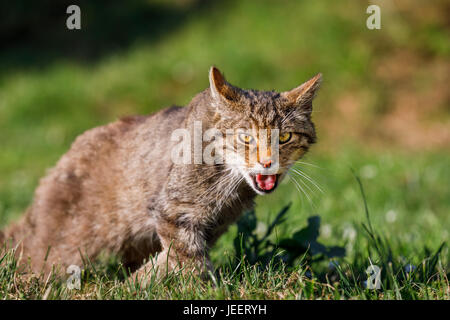 Native British wildlife: Scottish Wildcat (Felis silvestris) with fierce expression, British Wildlife Centre, Newchapel, - Stock Photo