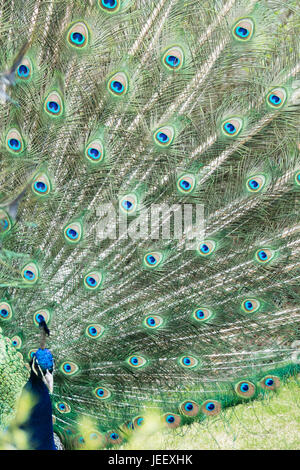 Peacock showing feathers. Exotic bird plumage. Wildlife pattern with eyes. - Stock Photo
