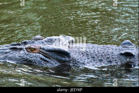 Saltwater crocodile close up on East Alligator river, Kakadu National park, Northern Territory, Australia - Stock Photo