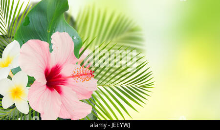 tropical fresh flowers and leaves - banner of fresh hibiscus and frangipani flowers and exotic palm leaves on green - Stock Photo