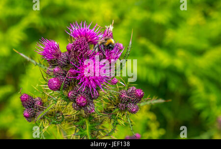 Close up of bee covered in pollen on purple Scottish or milk thistle,  Silybum marianum, with blurred background, - Stock Photo