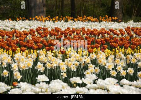 Tulip blossom in the Keukenhof in the Netherlands, Holland., Tuelpenbluete im Keukenhof in den Niederlanden - Stock Photo