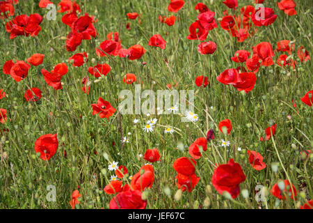Field with poppies in summer in Sweden., Feld mit Mohnblumen im Sommer in Schweden. - Stock Photo