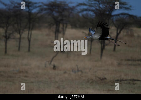 Secretary Bird in Flight - Stock Photo