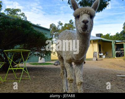 White suri alpaca - Stock Photo