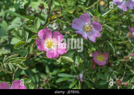 Wild rose / Dog Rose / Rosa canina flowers in bloom (June). Source of 'rose hips'. - Stock Photo