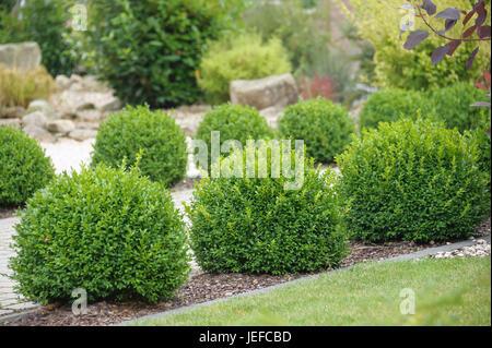 box buxus sempervirens var arborescens buchsbaum. Black Bedroom Furniture Sets. Home Design Ideas