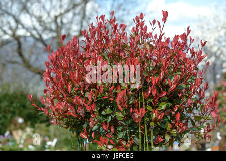 Brilliant medlar, Photinia fraseri Little Red Robin , Glanzmispel (Photinia × fraseri 'Little Red Robin') - Stock Photo