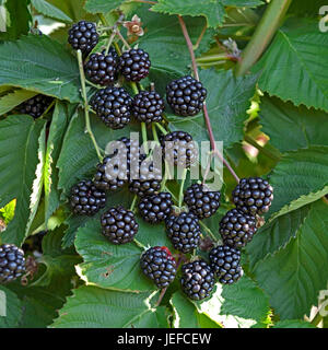 blackberry bramble rubus fruticosus 39 loch ness 39 rubus. Black Bedroom Furniture Sets. Home Design Ideas
