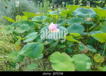 Indian lotus, Nelumbo nucifera , Indische Lotosblume (Nelumbo nucifera) - Stock Photo