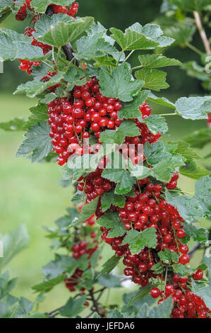 Red currant, Ribes rubrum Rondom , Rote Johannisbeere (Ribes rubrum 'Rondom') - Stock Photo