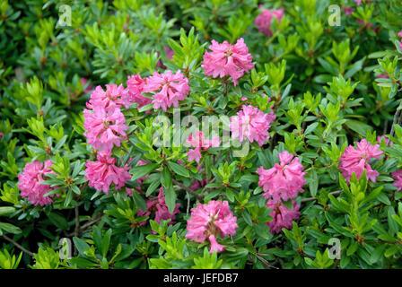 Alpine rose, rhododendron ferrugineum , Alpenrose (Rhododendron ferrugineum) - Stock Photo