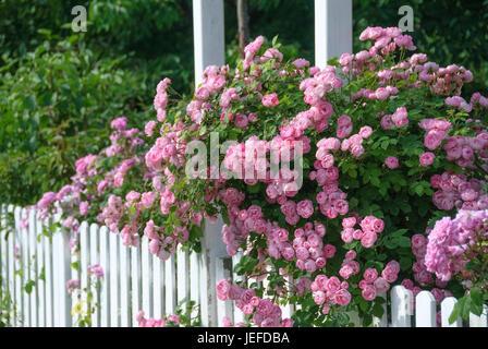 Rambler rose, Rose Raubritter , Rambler-Rose (Rosa 'Raubritter') - Stock Photo